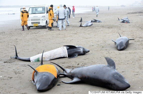 Mystery Of Mass Japanese Dolphin Deaths Trigger Earthquake