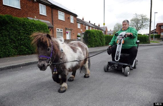Woman Exercises Miniature Horse With Mobility Scooter