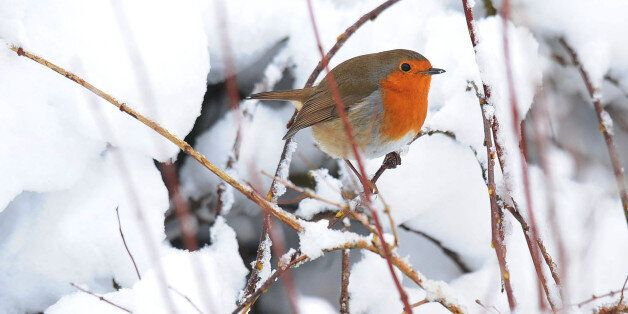 A robin sits on a snow covered branch in a garden in Northumberland as the winter weather continues across...
