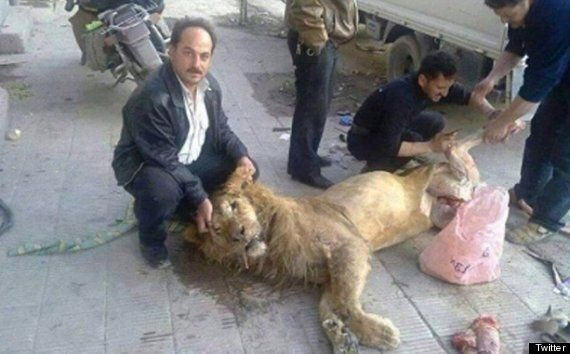 Syrians 'Butcher And Eat Lion From Damascus Zoo' (GRAPHIC