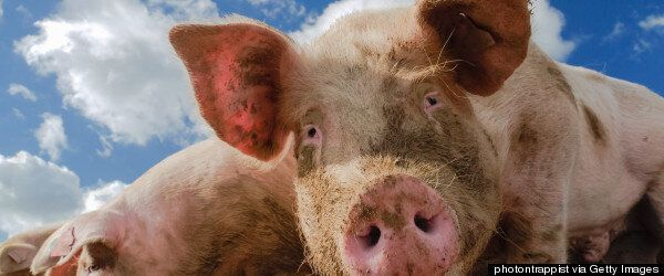 Mafia Boss Francesco Raccosta 'Fed Alive To Pigs' By Rival Mob