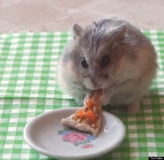 Tiny Hamster Eating A Tiny Pizza: Burrito Hamster Has Nothing On This