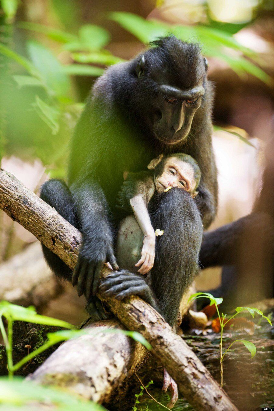 Grief-Stricken Mother Macaque Monkey Cradles Dead Baby