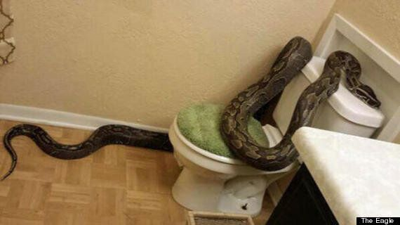 Python Pit Stop: 12-ft Long Snake Slithers Into Texas Bathroom