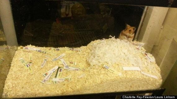 World Cup 2014: Psychic Hamster 'Mini-Merv' Makes Predictions For England