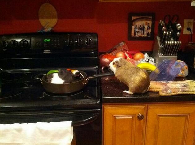 'Stuff My Guinea Pig Does' Is An Adorable, Funny Set Of Photos