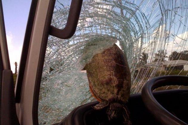 Turtle Hurtles Through Truck Windscreen