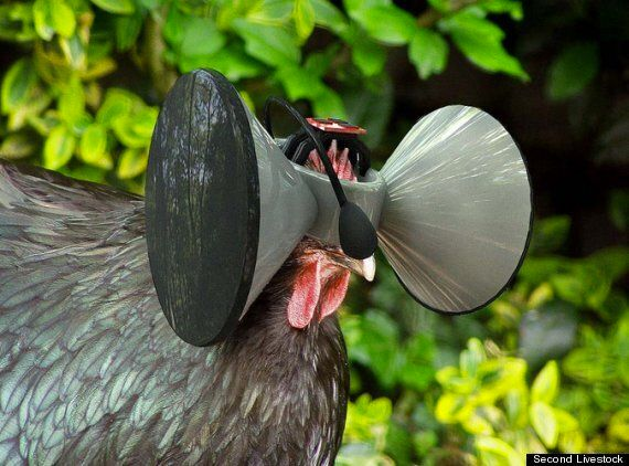 'Second Livestock' Asks If Virtual Reality For Chickens Can Be The Future Of Fake 'Free Range'
