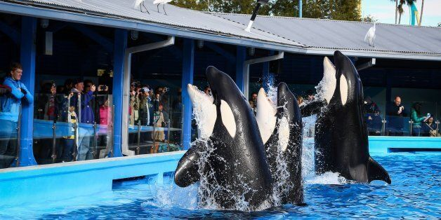 Orcas during a show at the Shamu Up Close attraction at Sea World in Orlando, Fla., Jan. 7, 2014. (Joshua...
