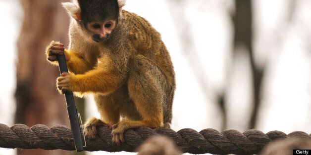 A spider monkey holds onto a pen after stealing it from a zookeeper during the annual stocktake at London...