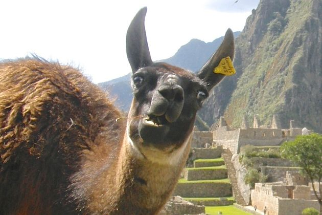Amazing Llama Photobomb At Machu Picchu