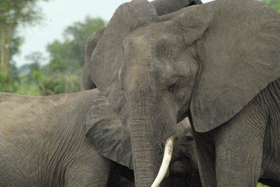 Protecting Elephants - Ivory Trade Should Not Be Our Only