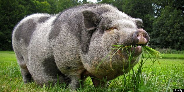A pot-bellied pig was found in the car wearing jogging bottoms (file