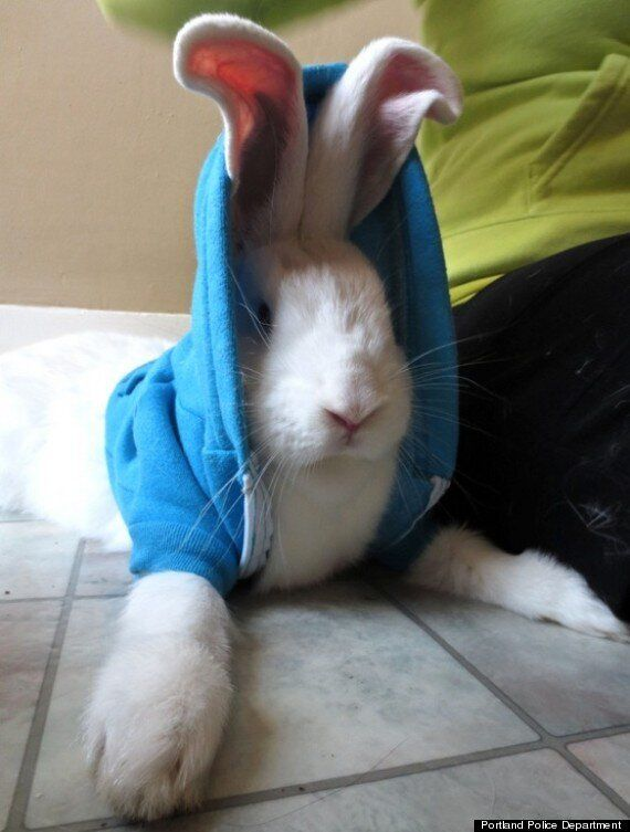 Giant Flemish Rabbit Named Bonnie Abducted