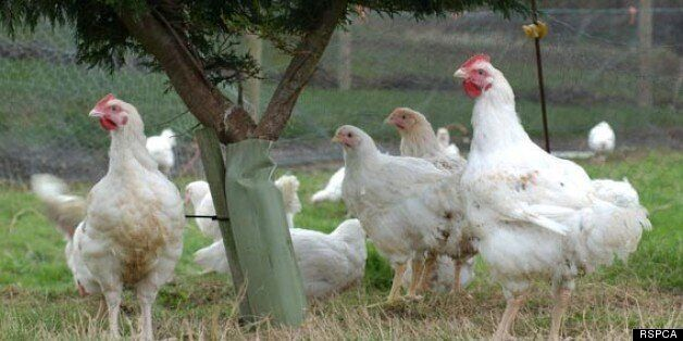 New RSPCA Chicken Welfare Initiative: Another Reason to Buy Freedom