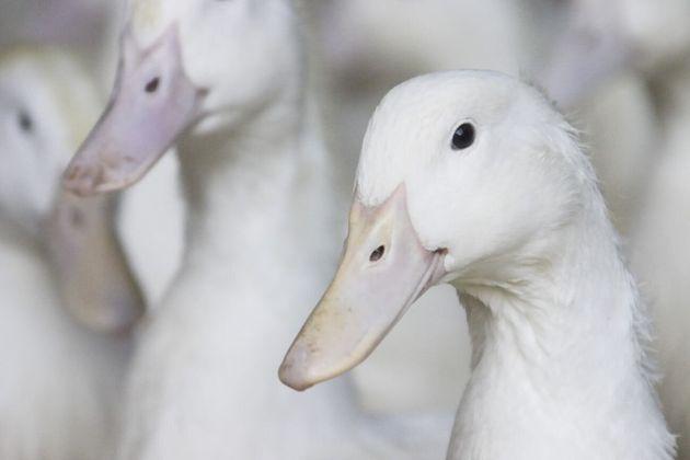 Help Us Take Ducks to