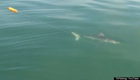 8ft Long Porbeagle Shark Hooked By Angler Off The Coast Of Devon