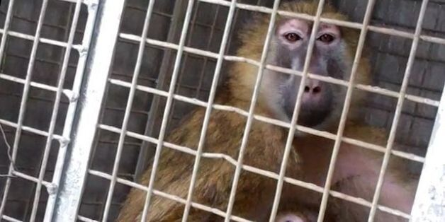Newcastle University Ends Caputure Of 'Cruel' Wild Primates For Animal Experiments After
