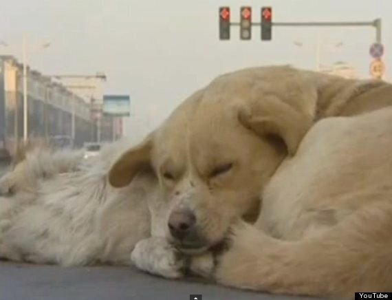 Dog Standing Guard Over Body Of Dead Friend Hit By Car Will Break Your Heart