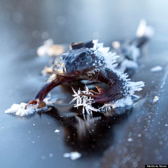 Frog Freezes Solid As He Searches For A Mate On Icy Oslo Lake