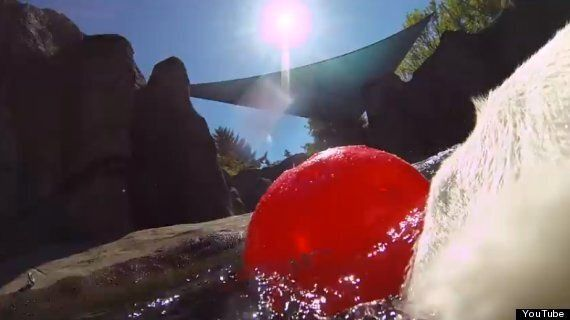 Polar Bear Collar Video: First-Person Camera Shows What It's Like To Be Ursus