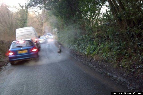 Fugitive Ostrich, Described As 'Young And Perky' On The Run In Tunbridge Wells