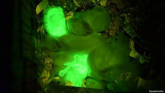 Scientists Clone Glow-In-The-Dark Rabbits