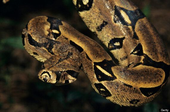 Boa Constrictor 'On The Loose In Portsmouth After Being Thrown In