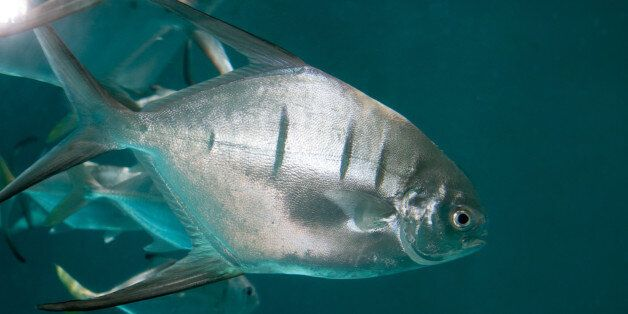 The group of swimmers were attacked by palometas (file