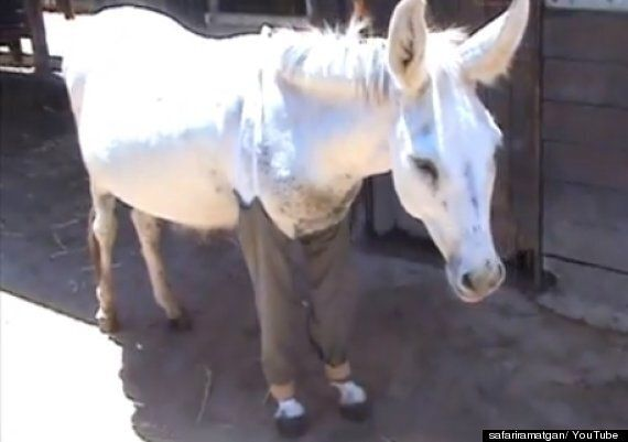 Abused Donkey Named Haim Wears Trousers To Heal His Wounds At Israeli Animal Centre (PICTURES,