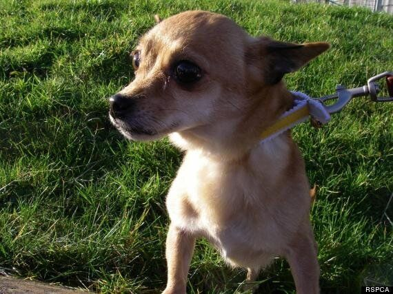 Chihuahua Left On Manchester To Carmarthen Train