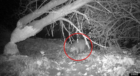 Rare Wild Beaver Photographed In Britain – For Only The Second Time 500 Years