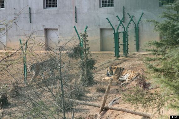 Tigers Turned Into Wine As Shocking Chinese Cruelty Is