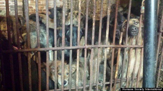 Dog Meat Festival Celebrating Summer Solstice Starts Early In Yulin, China (GRAPHIC