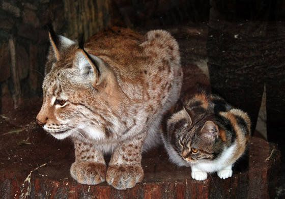 Cat Breaks Into Zoo, Become Best Friends With A Lynx