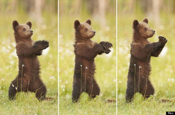 Picture Of The Day: Baby Bear Does Gangnam Style | HuffPost UK