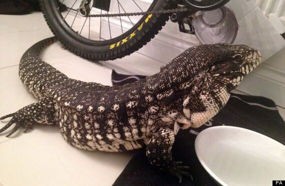 Missing Lizard In Swansea, South Wales Police Appeal For