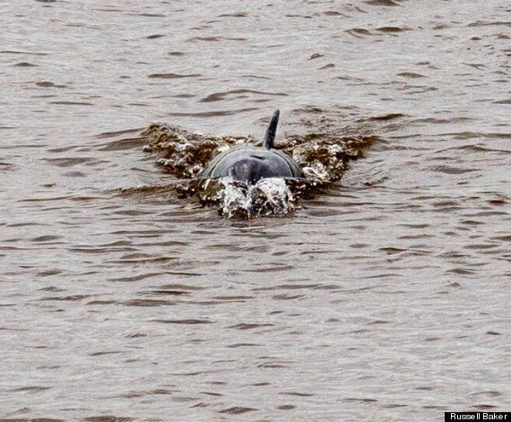Dolphin Leaps Out Of River Dee In Rare Chester