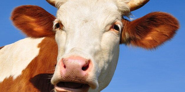 head of a cow against the