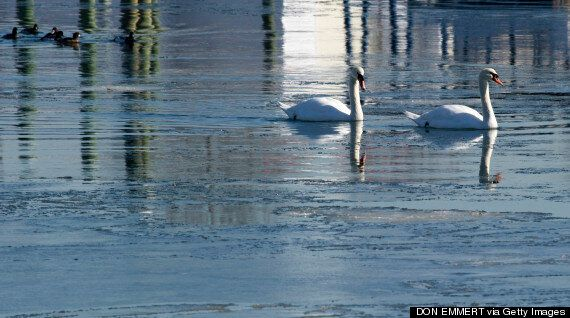 New York Planning Massive Swan Cull, As Birds Labelled A