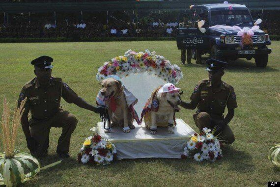 Police Dog Wedding In Sri Lanka Condemned By Culture