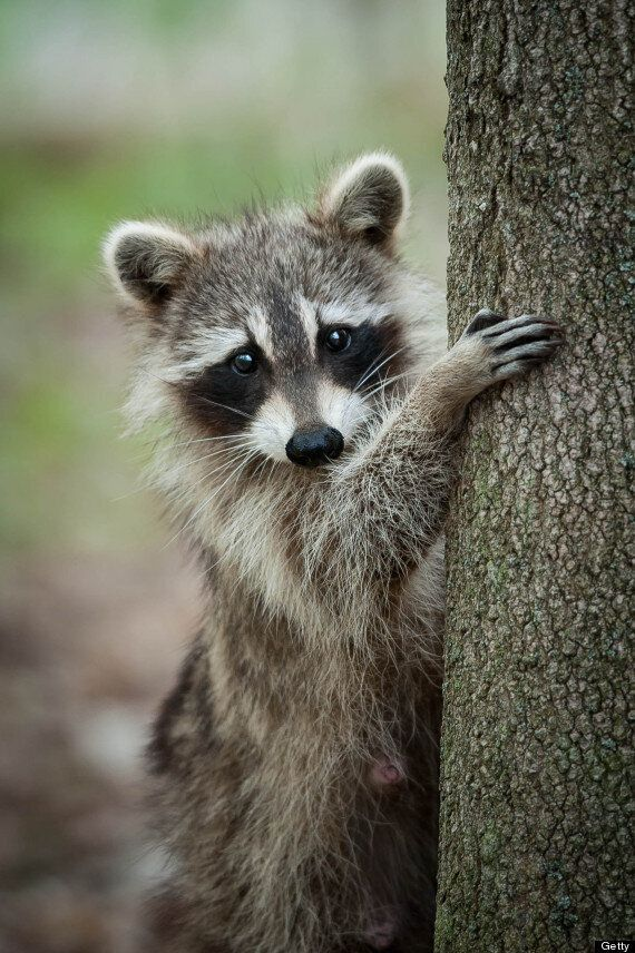 Armed Man Tries To Shoot Raccoon, Sneezes, Shoots Self Instead, Sparks Outrage On Gun-Rights