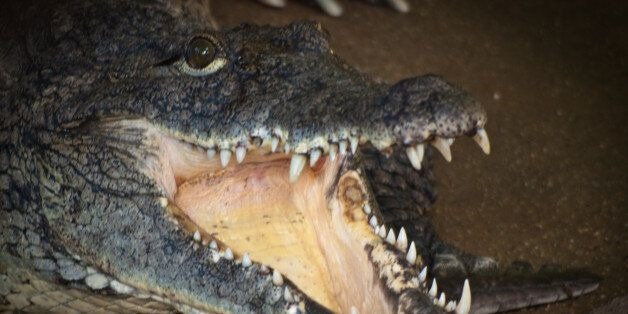 Crocodile with open mouth at Alligator Bay, Beauvoir, FrancePERMISSION TO USE: you are welcome to use...