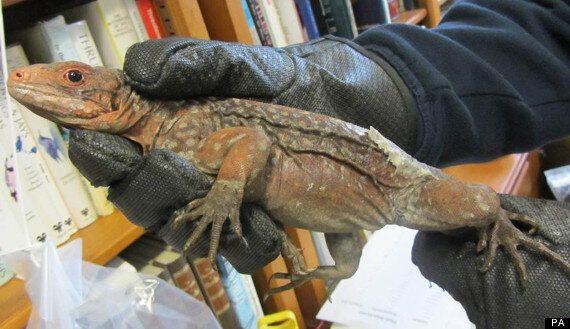 Rare Iguanas Seized At