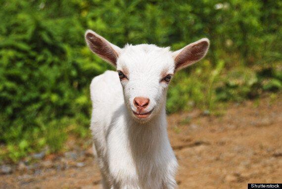 Aparecido Castaldo, Brazilian Widower To Marry Pet Goat