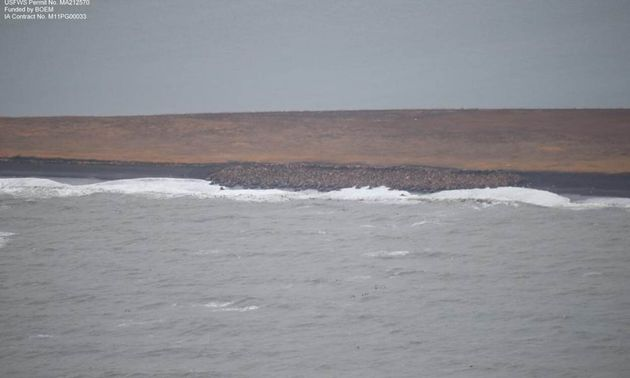 Declining Arctic Sea Ice Forces Thousands of Walrus
