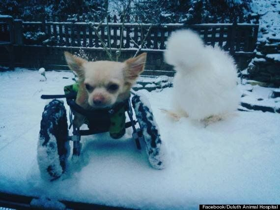 Disabled Chihuahua And Fluffy Chicken Form Alliance To Win The