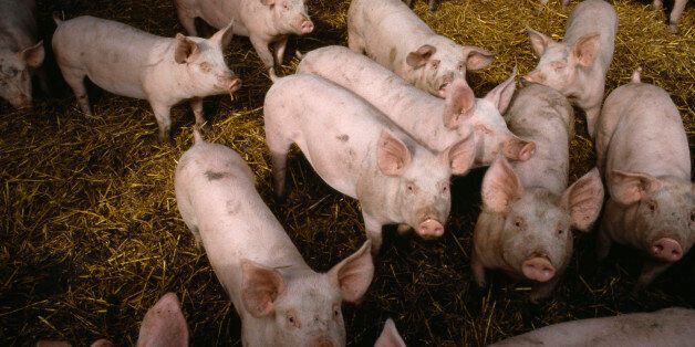 The Ministry of Defence has defended its involvement in the shooting of pigs (file