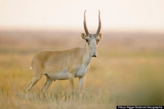Saiga Antelope Looks Like A Star Wars Creature (And Is Making A