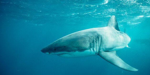 Cancer fighting antibodies have been found in shark blood